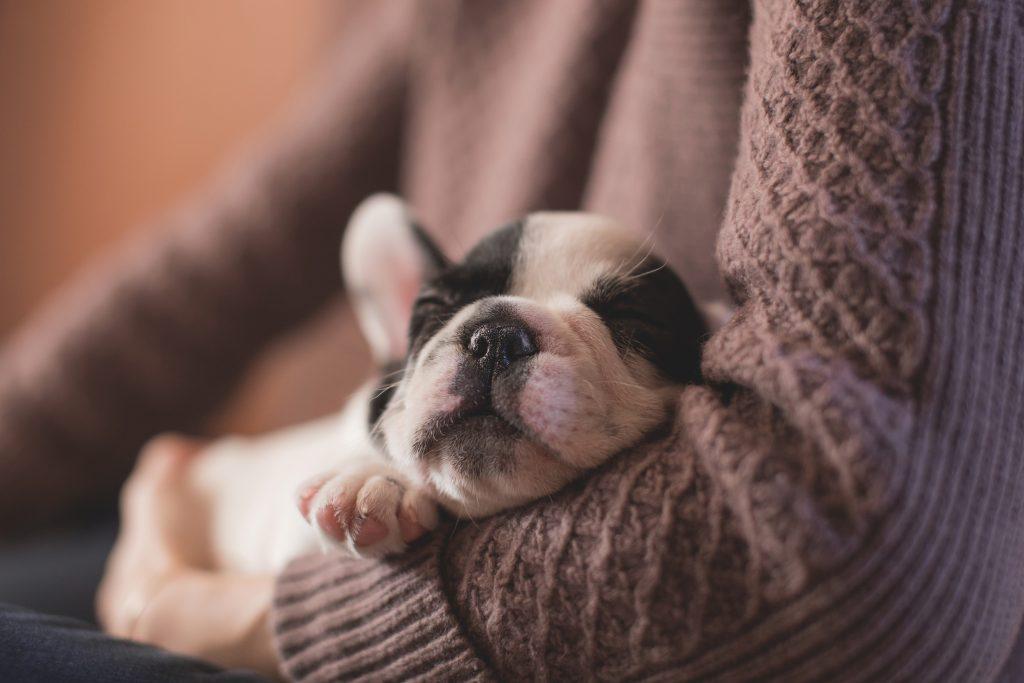 puppy lap